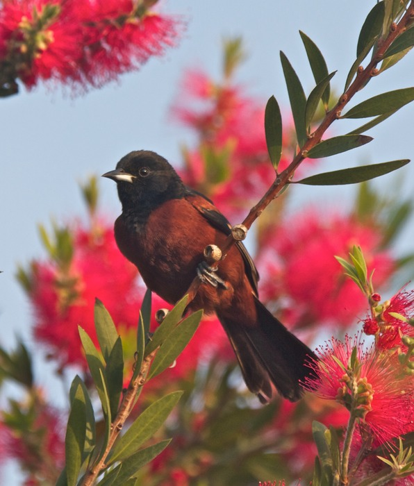 Orchard Oriole 001