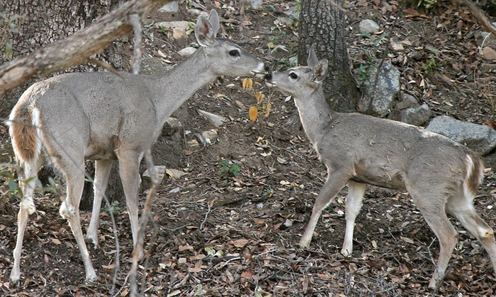 White Tailed Deer 004